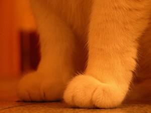 Las patas delanteras de un gato