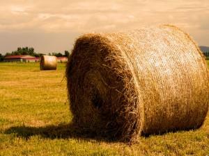 Postal: Grandes fardos de paja en un campo