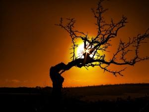 Postal: El sol del atardecer tras un árbol