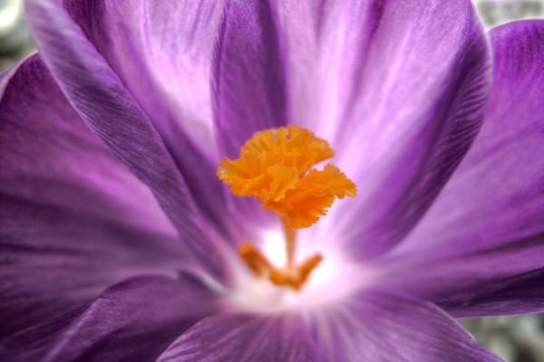 El interior de una flor morada