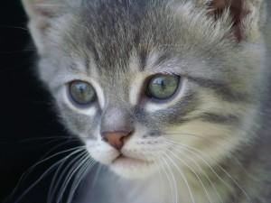 La cara de un bonito gato gris