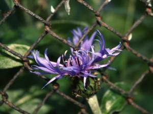Flor junto a una verja oxidada