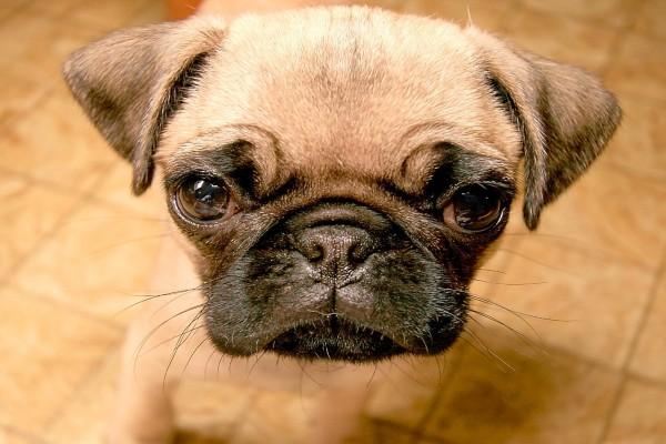 La cara de un pequeño perro