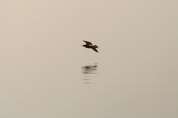 Gaviota volando a ras del agua