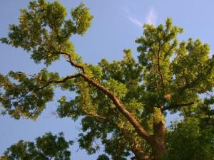 Postal: Árbol con grandes ramas