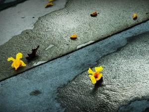 Postal: Flores amarillas caídas en el suelo
