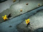 Flores amarillas caídas en el suelo