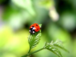 Mariquita sobre una hoja verde