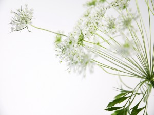 Planta con pequeñas flores blancas