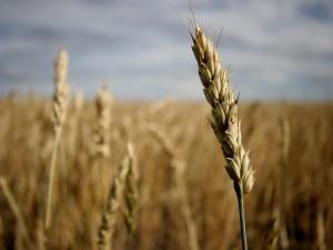 Espiga de trigo en un trigal