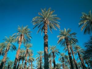 Postal: Grandes palmeras
