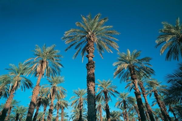 Grandes palmeras