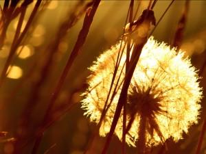 Diente de león brillando al sol