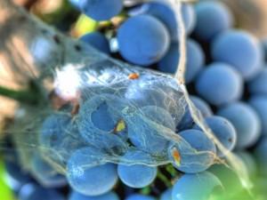 Telaraña sobre un racimo de uvas