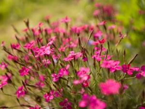 Flores silvestres de color fucsia