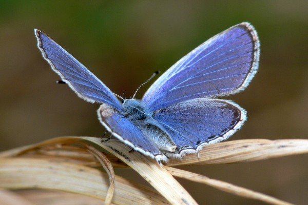 Bella mariposa azulada