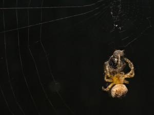 Gran araña sobre su presa