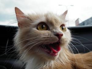 Un simpático gato con la boca abierta