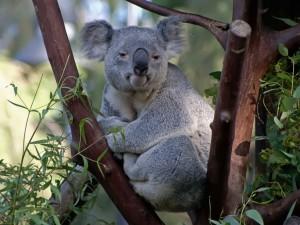 Koala adormilado sobre un árbol