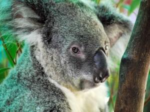 Postal: Un gran koala