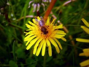 Postal: Gran abeja sobre una flor amarilla