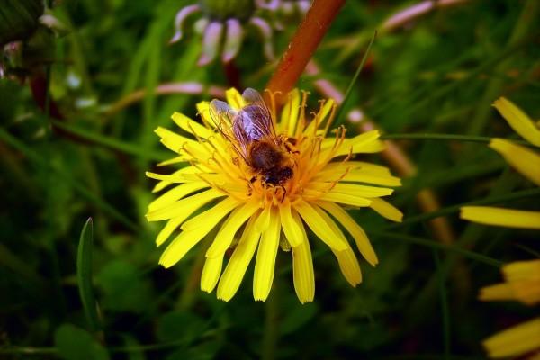 Gran abeja sobre una flor amarilla
