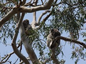 Koalas dormidos en las ramas de un árbol
