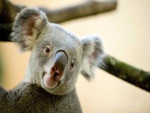 La cara de un bonito koala