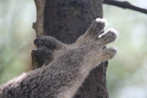 La mano de un koala