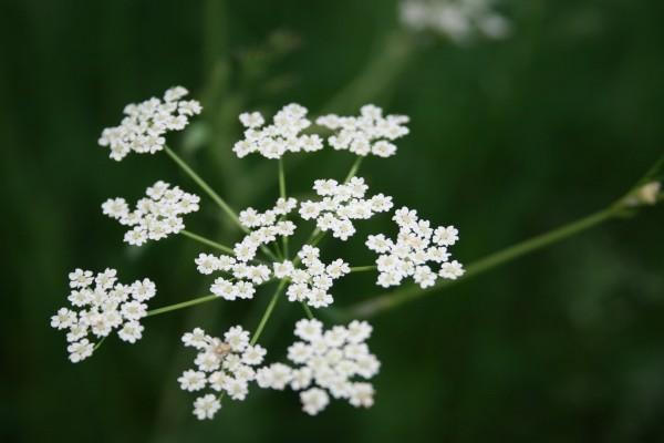 Pequeñas flores blancas en el tallo de una planta