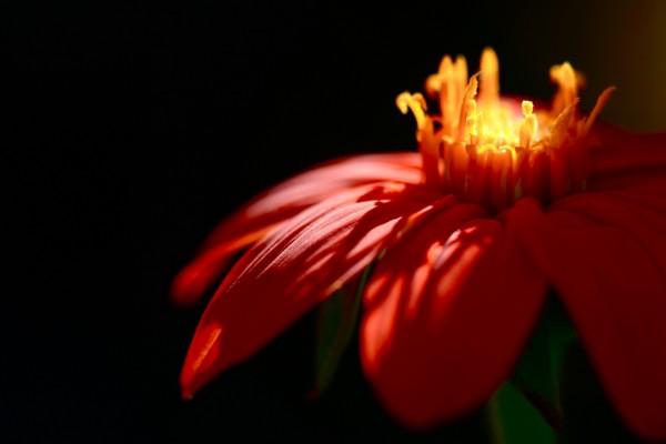 Pétalos rojos de una hermosa flor