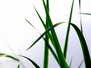 Hojas verdes alargadas