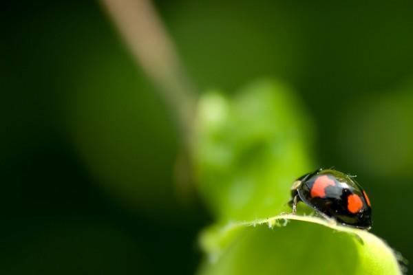Mariquita negra con puntos rojos