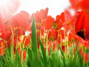 Postal: Tulipanes rojos recibiendo la luz del sol