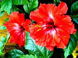 Grandes hibiscos rojos