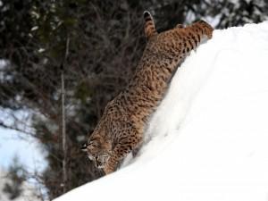 Un joven lince caminando sobre la nieve