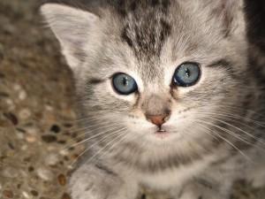 La mirada de un precioso gatito