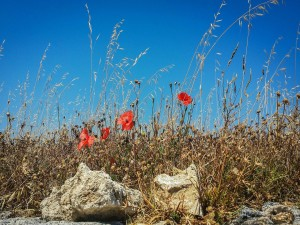 Postal: Amapolas entre hierba seca y piedras