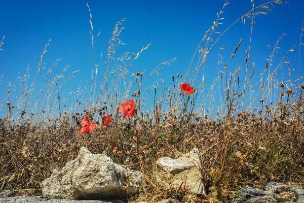 Amapolas entre hierba seca y piedras