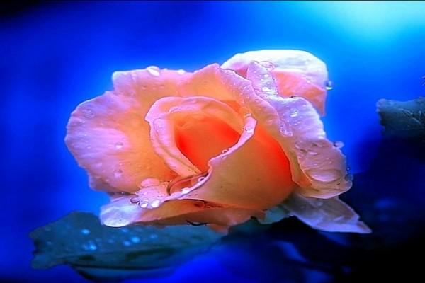 Delicada y frágil rosa