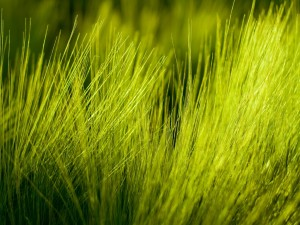 Postal: Trigo verde
