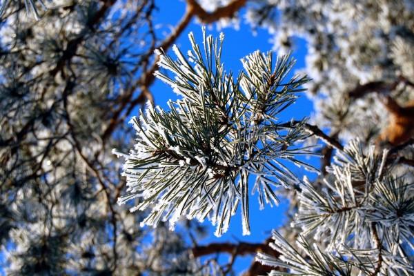 Nieve sobre las ramas de un pino