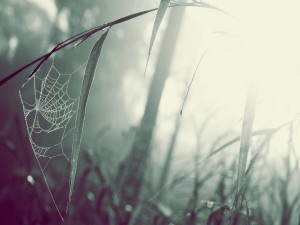 Postal: Tela de araña desde una hojas hasta el tallo