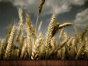 Postal: Hermosas espigas de trigo