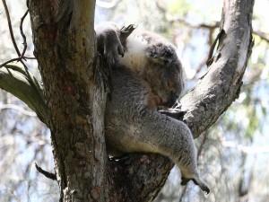 Postal: Koala dormido sobre la rama de un árbol