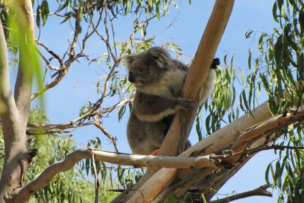 Un koala trepando por una rama