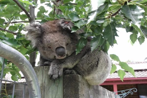 Koala bajo las hojas