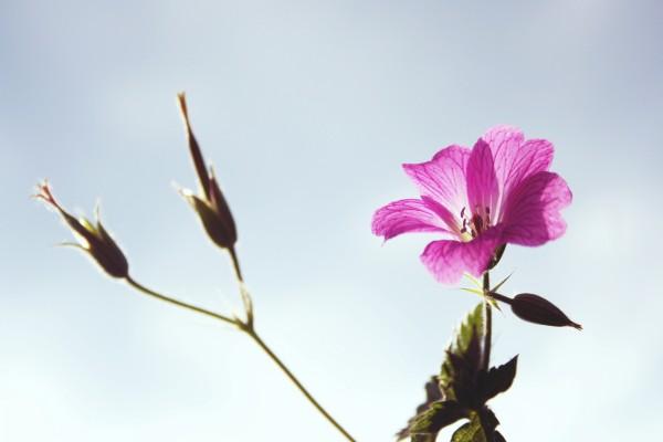 Flor rosa en un tallo