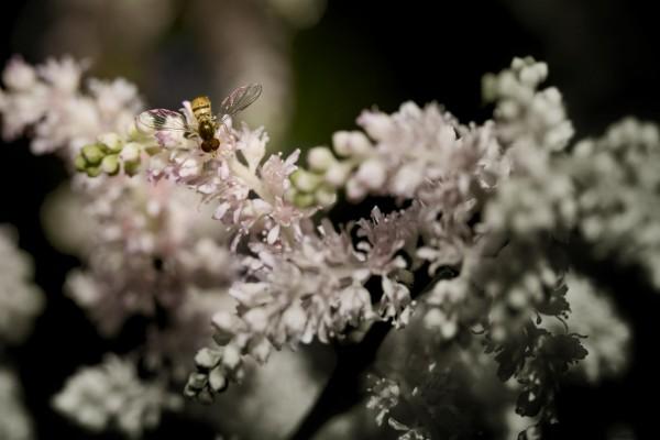 Las brillantes alas de una abeja