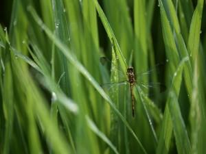 Postal: Libélula posada en una brizna de hierba